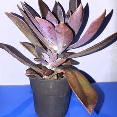 کاکتوس اچوریا